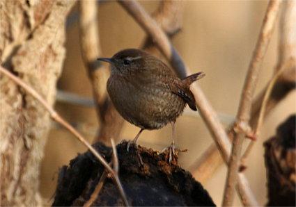 Der Zaunkonig Am Vogelhaus